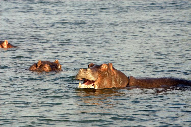 Hippopotamus With Calf Swimming In Lake