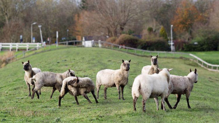 Sheep on a Dike Blocking My Way Dutch Landscape