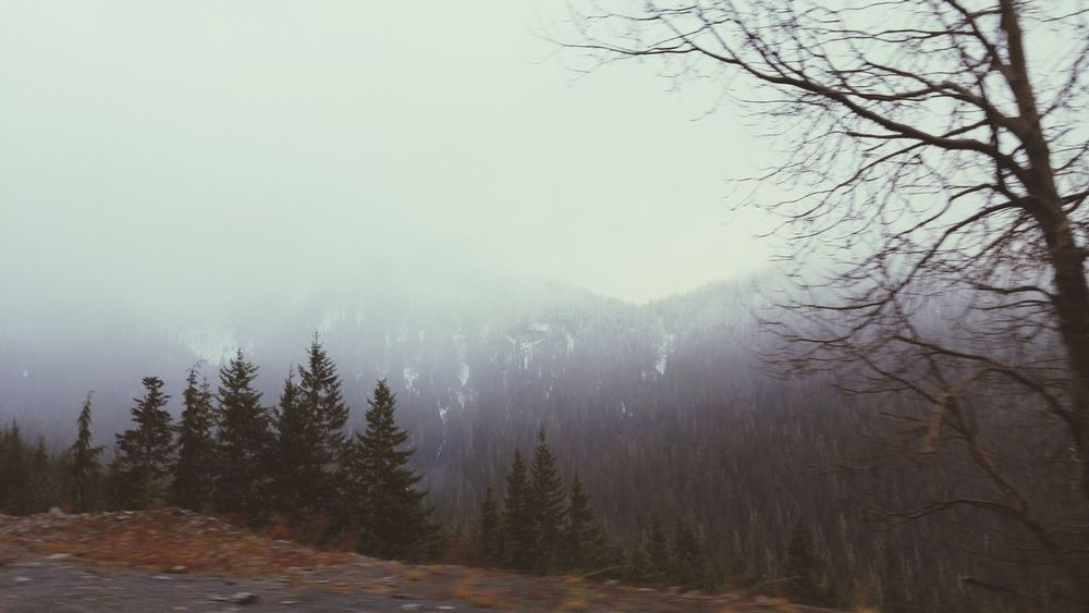 Tree Forest Pinaceae Fog Pine Woodland Pine Tree Nature Snow Winter Landscape Spooky WoodLand Beauty In Nature Cold Temperature Social Issues Outdoors No People Pine Wood Sky Tree Area