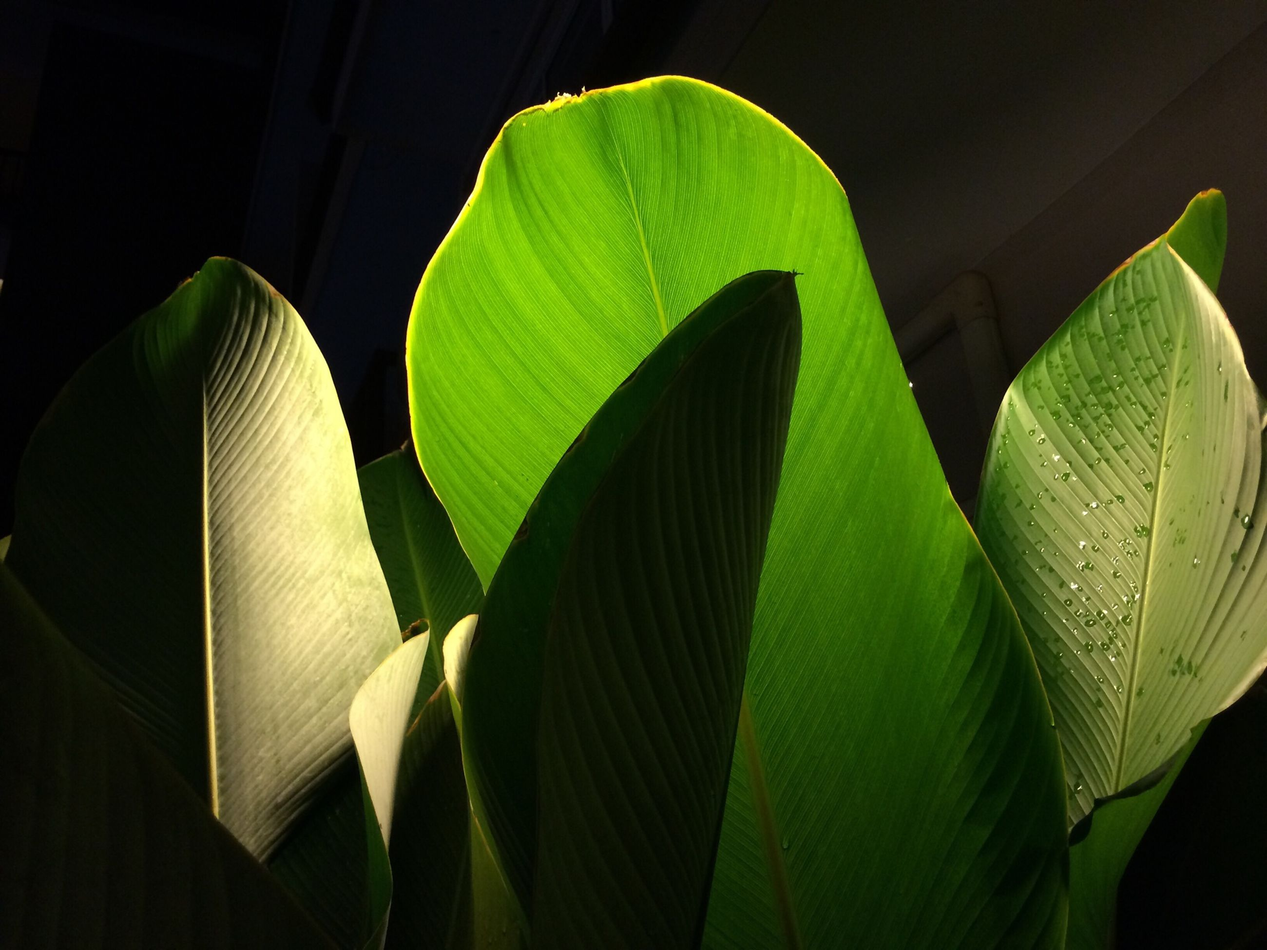 leaf, green color, leaf vein, growth, plant, indoors, close-up, green, nature, leaves, pattern, sunlight, natural pattern, no people, day, beauty in nature, focus on foreground, low angle view