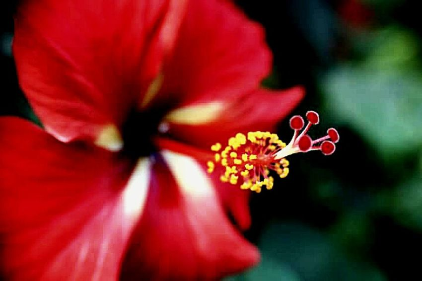 Streamzoofamily Tadaa Community Macroclique Taking Photos Tropical Flowerporn Hibiscus Flower Honolulu, Hawaii