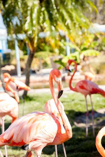 Pink Caribbean flamingo, Phoenicopterus ruber, in the middle of flock flamingos during breeding season. Flamingo Bird Animal Themes Animals In The Wild Animal Vertebrate Animal Wildlife Focus On Foreground Nature No People Day Animal Neck Flamingo Pink Flamingo Phoenicopterus Ruber Phoenicopterus Ruber Roseus Caribbean Flamingo Caribbean Flamingos Wild Bird Nature Garden Long Neck  Long Beaked Bird