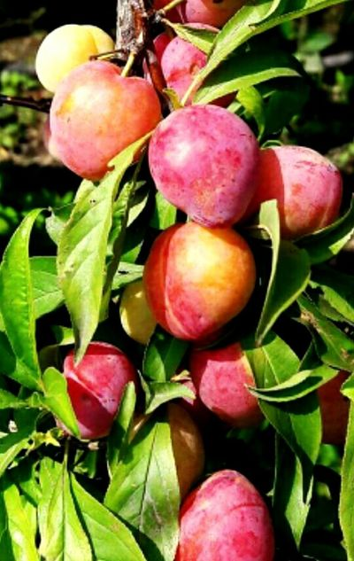 Plum Fruit Food And Drink Healthy Eating Food Leaf Freshness Organic Agriculture Green Color No People Red Outdoors Close-up Day Plant Beauty InNature