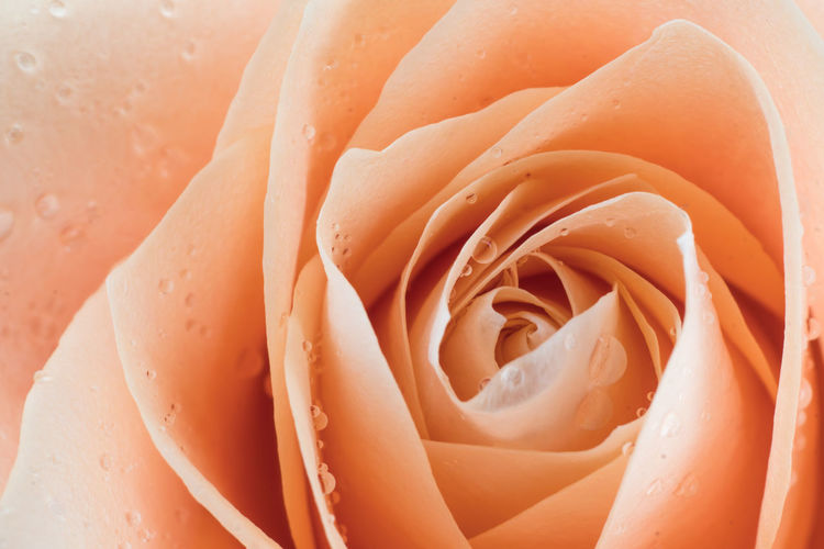 Rosé Flower Freshness Close-up Flowering Plant Rose - Flower Full Frame Plant Beauty In Nature No People Flower Head Inflorescence Petal Wet Orange Color Backgrounds Fragility Water Vulnerability  Growth Dew