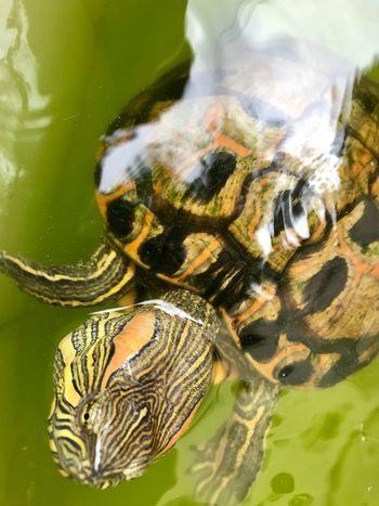 Tartaruga! Turtle No People Day