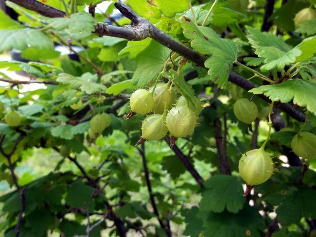 Beauty In Nature Berries Branch Close-up Day Food Food And Drink Freshness Fruit Gooseberries Gooseberry Bush Green Color Growth Leaf Nature No People Outdoors Plant