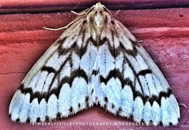 I found this pretty moth on the deck. I can't find an ID match. I thought maybe it is a Gypsy moth or Plume moth or a Winter moth.? Washington State KimberlyJTilley Insect Bug Moth Nature Outdoors Close-up White Black Lines