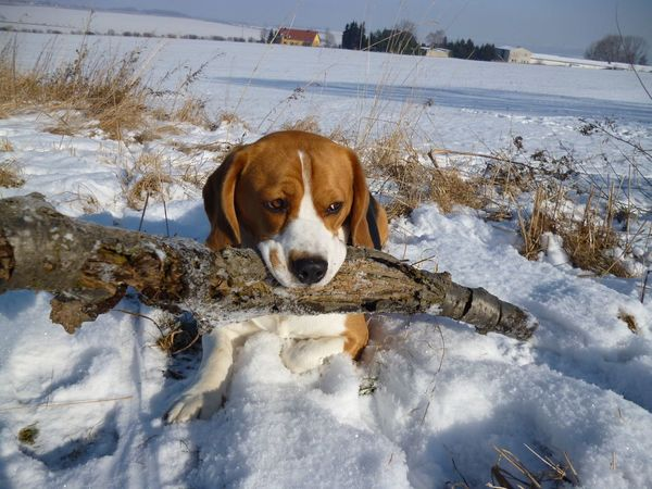 EyeEm Best Shots EyeEm Nature Lover Moritz Wood Animal Themes Beagle Close-up Cold Temperature Day Dog Domestic Animals Looking At Camera Mammal Nature No People One Animal Outdoors Pets Portrait Snow Water Winter