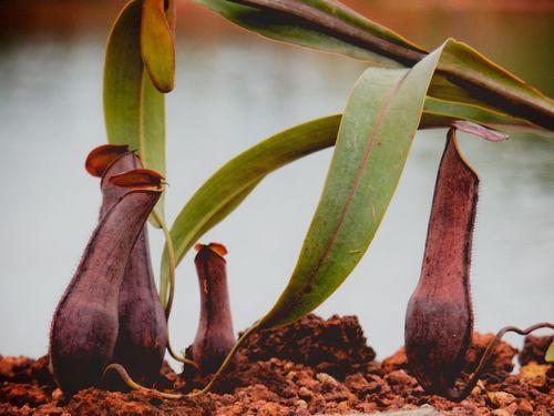 Nephentes Plant Nature Naturelovers