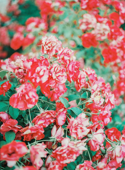 A red and white rose bush. Film Beauty In Nature Botany Close-up Floral Flower Flower Head Flowering Plant Freshness Full Frame Growth Nature No People Outdoors Petal Pink Color Plant Red Rosé Selective Focus Smell