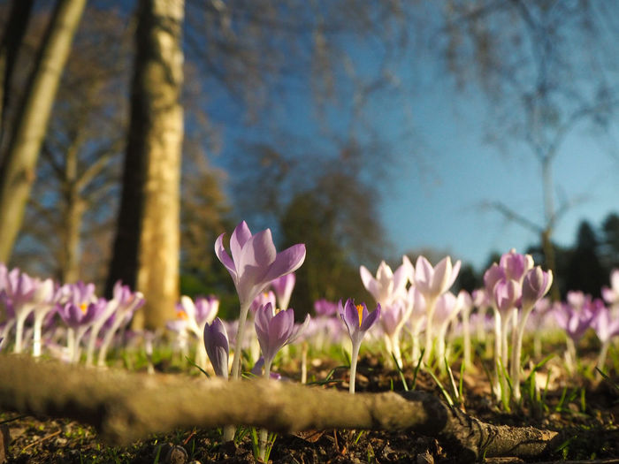 Flowering Plant Flower Plant Beauty In Nature Freshness Growth Fragility Vulnerability  Pink Color Close-up Petal Land Nature No People Field Selective Focus Focus On Foreground Day Tree Flower Head Outdoors Springtime Iris Crocus Purple Crocuses Spring