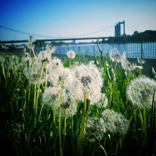 (Cologne , Germany) Dandelion Blowball Flower Green Nature Meadow Grass Bladeofgrass Rhine Eiver Focus Bridge Sky Spring