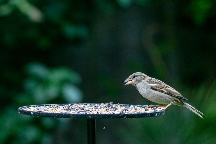 House sparrow, passer domesticus, perched on a garden bird table