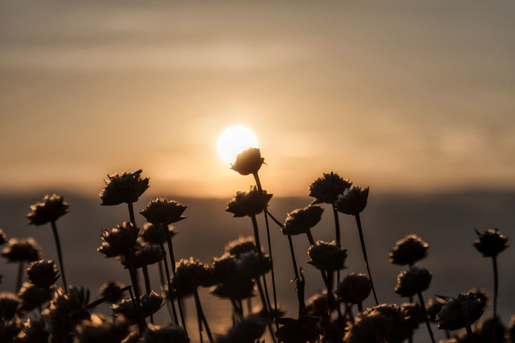 Close-up of silhouette flowering plants on field against sky during sunset