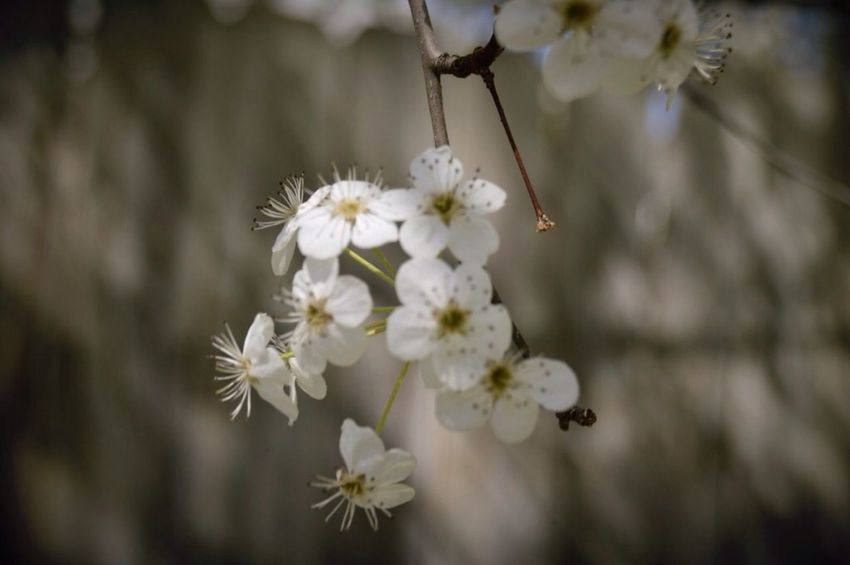 A limb of blossoms hanging down. I couldn't get this focused but there's still something about it I like. Do you?