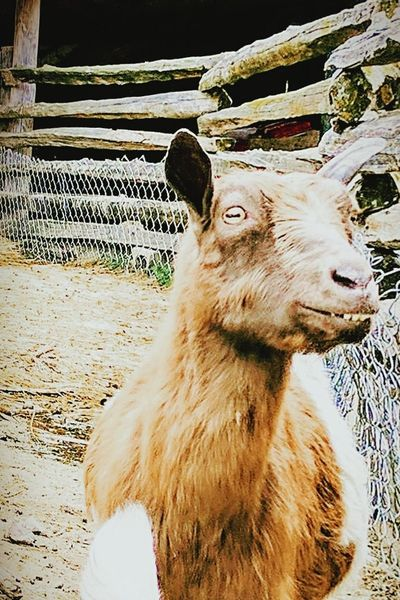 One Animal Animal Themes Mammal No People Domestic Animals Day Pets Nature Outdoors Close-up Animal Portrait Goat Life Creepy Looking Goat Teeth Model Smile Nature Cute Follow Famous Pose