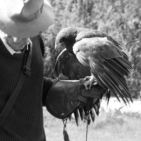 Falcons Eagles Eaglephotography Falconry Falconer Blackandwhite Blackandwhitephotography Birdsofpeypics Birdsofprey Birdphotography EyeEm Nature Lover EyeEm Birds Birds Of EyeEm  Birds Of Prey Bird Photography