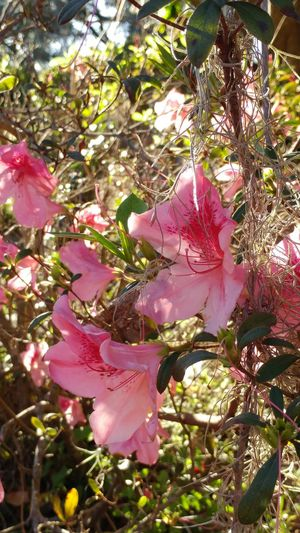Beauty In Nature Azalea Blossoms Outdoors No People Moss