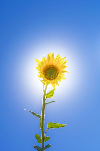 like the sun Beauty In Nature Blue Blue Background Clear Sky Close-up Copy Space Flower Flower Head Flowering Plant Fragility Freshness Growth Inflorescence Nature No People Outdoors Petal Plant Plant Stem Pollen Sepal Sky Sunflower Vulnerability  Yellow