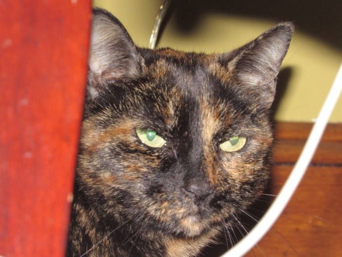 Cat Feline Domestic Cat Domestic Animals Pets Mammal Close-up Hiding Cat Hiding Patches Patchesthecat Reflecting Eyes