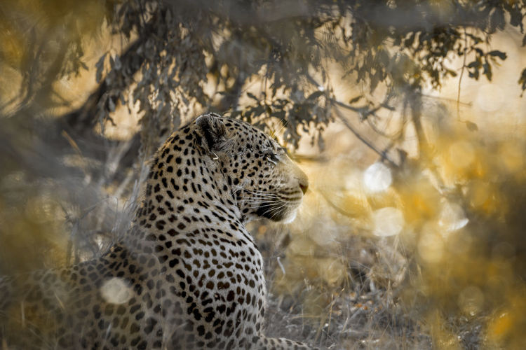 Close-up of leopard looking away while sitting by plants