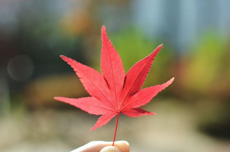 Cropped hand holding red leaf