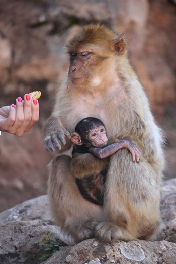 Animal Themes Animals In The Wild Barbary Ape Beauty In Nature Day Focus On Foreground Holding Mammal Monkey One Animal Outdoors Rock - Object Wildlife Zoology First Eyeem Photo Animals