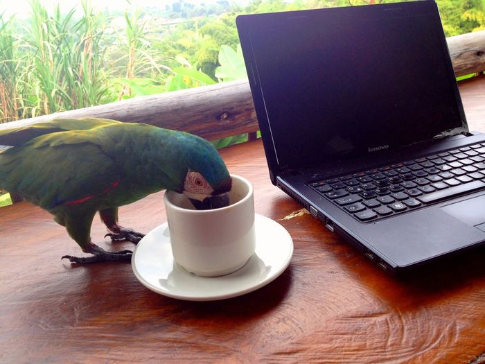 Caffeine Addict Caffeine Boost Caffeine Boost... Coffee Cup Coffee Growing Region Coffee Time Colombia Colombian Starbucks! Eje Cafetero Funny Animal Photos Funny Bird Photo Home Office! Morning Brew Parrot Parrot Drinking Coffee! Thirst Thirsty  Totally Perched Tropical Bird Wake Up! Wild Parrot Break The Mold