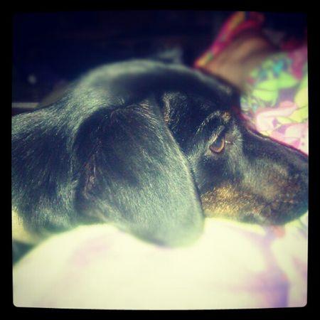 Sweet Dachshund Weeniedog Odie animals pets tired