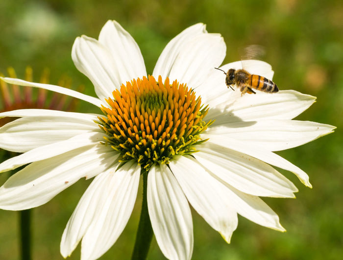 Bee Beauty In Nature Insect Flower Animal Wildlife One Animal Pollen Flower Head No People Close-up Animal Themes Animals In The Wild EyeEm Nature Lover