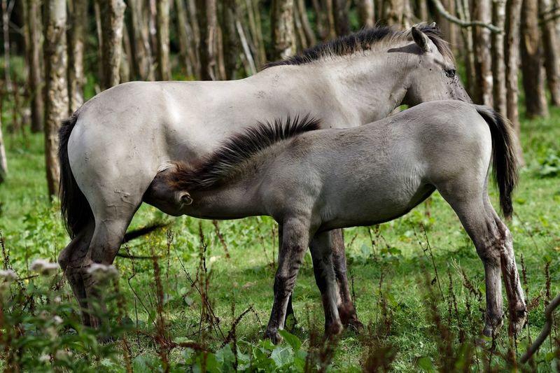 Konik Horses Animal Themes Animal Animal Wildlife Plant Mammal Tree Land Animals In The Wild