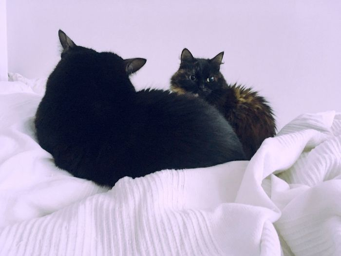 Domestic Cat Pets Domestic Animals Bed Feline Mammal Animal Themes Cat Indoors  Home Interior One Animal Bedroom No People Relaxation Sheet Pillow Close-up EyeEmNewHere Interior Looking At Camera Cats Portrait Lifestyles Togetherness Animals