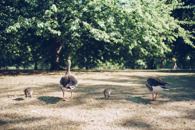 Parenting Parenting Ducks London Hydepark Uk Bird Animal Themes Animal Animals In The Wild Vertebrate Animal Wildlife Tree Plant Group Of Animals Nature Sunlight Land No People Day Goose Perching Outdoors Field Growth Green Color