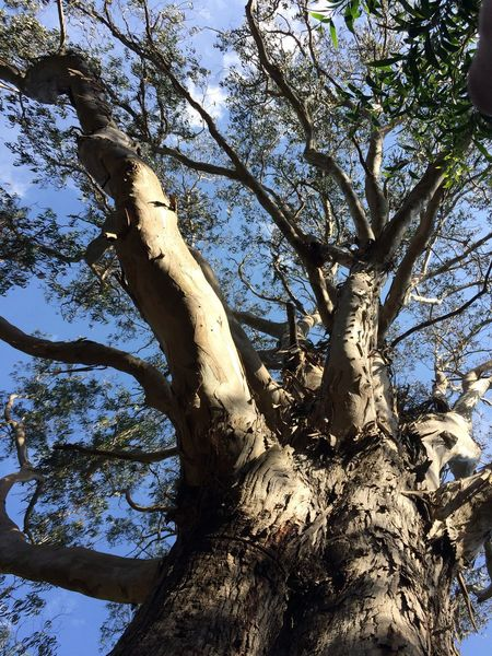 48,5 Metros High Tree Of Public Interest Tree Tree Trunk Branch Low Angle View Nature Day Growth Outdoors No People Forest Beauty In Nature Dead Tree Sky Iftreescouldspeak Lifeforthestory Eucalyptus Globulus Labill The Great Outdoors - 2017 EyeEm Awards EyeEmNewHere Beauty In Nature