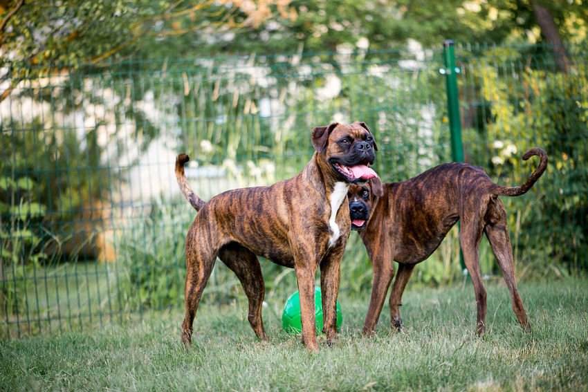 Two Cute Boxer Dogs Together Boxer Boxer Dogs Two Dogs Pets Canine Breed Domestic Animals Playing Play Ball Outdoors Grass Domestic Animals Animal Themes Mammal Dog Animal Beautiful Doggy Happy Funny Funny Faces Portrait