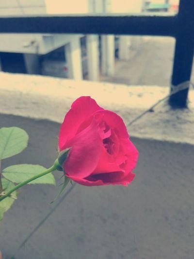 Rose - Flower Freshness