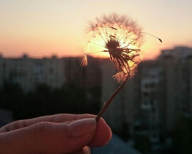 Dandelion In The Sky Dandelion,broken Dandelion, Dandelion&sunset