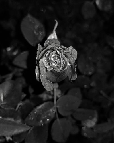 Rosebud after