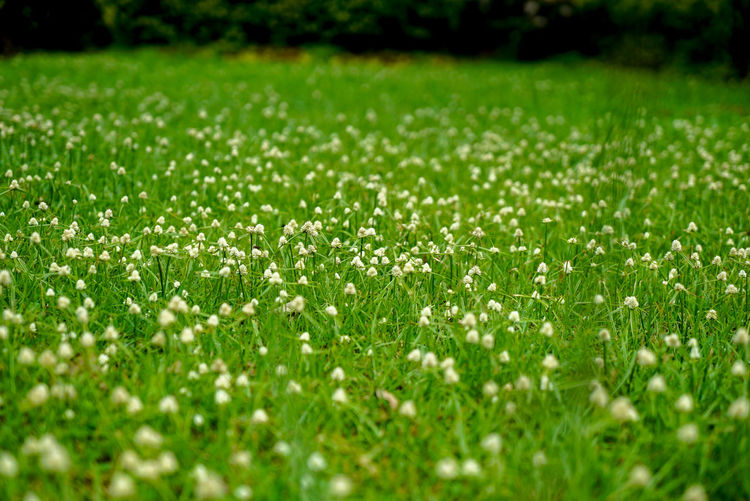 Young white flowers popping out of a lush lawn. Grass Plant Selective Focus Field Growth Land Green Color Nature Beauty In Nature No People Day Tranquility Outdoors Close-up Full Frame Freshness Backgrounds Landscape Sport Fragility Surface Level Blade Of Grass
