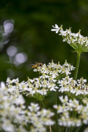 Insect on white flowers blooming outdoors