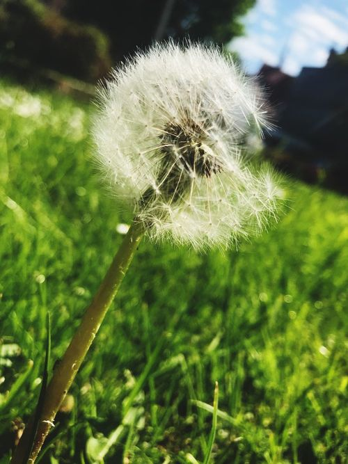 Plant Fragility Growth Vulnerability  Focus On Foreground Close-up Beauty In Nature Nature Dandelion Freshness No People Flower Drop Day Flowering Plant Water Outdoors Wet Softness Flower Head