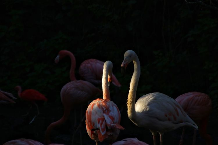 Pink Color Pink Flamingos Flamingo Nature Nature_collection Nature Photography Bird Flamingo Black Background Feather  Sun Close-up Tropical Bird Preening Costa Rica Freshwater Bird Swimming Animal Beak Grooming