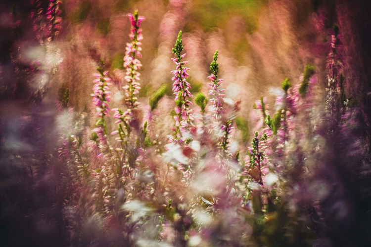 Close-up of pink flowering plant on field