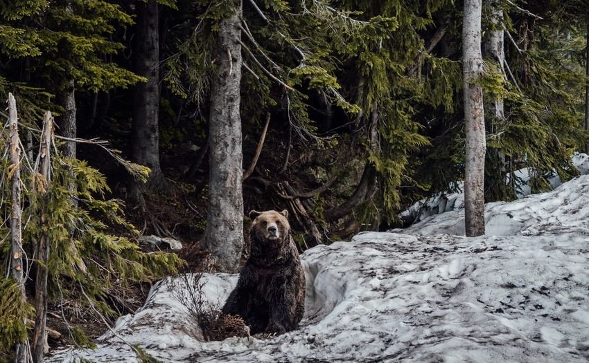 Bear in a forest in the snow