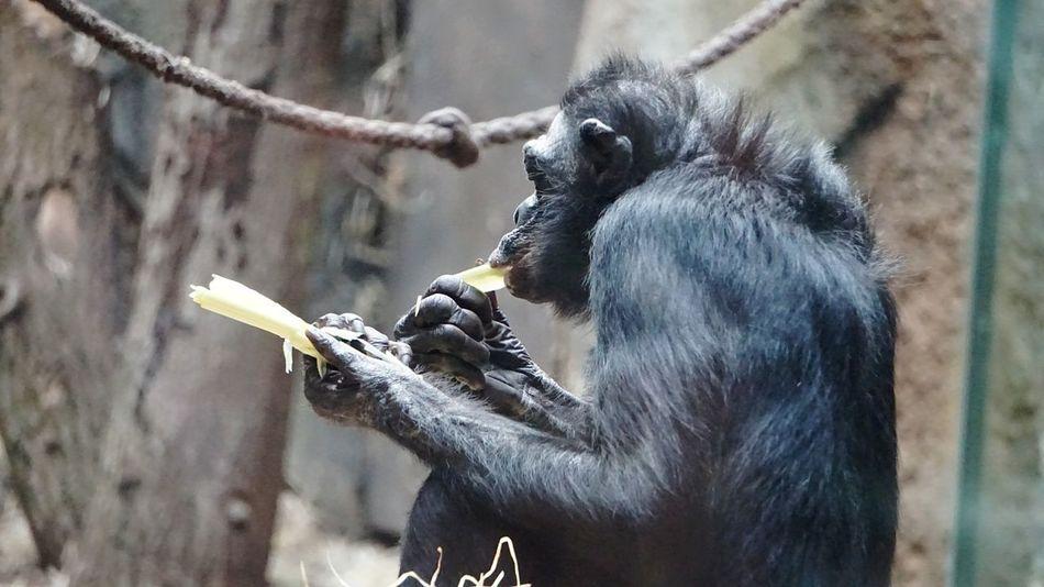Bonobo Zoo Frankfurt Close-up Mammal Eating Tadaa Community Affe Behind Glass Nature's Diversities Monkey Beliebte Fotos Eye4photography  Zoo EyeEmBestPics