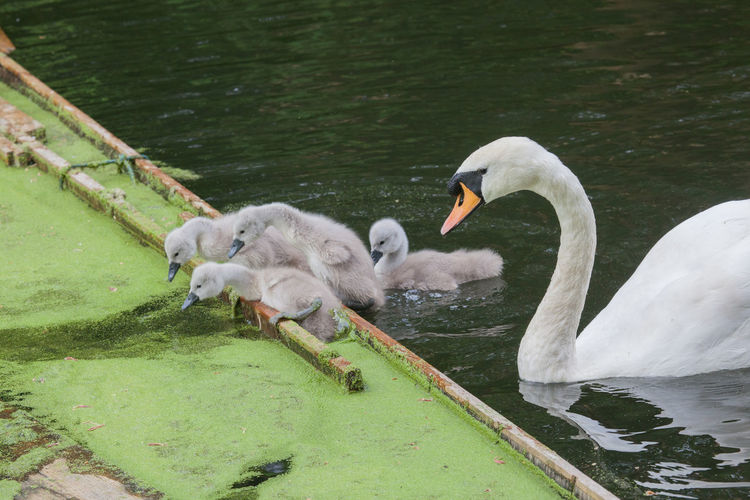 Close-Up Of Mute Swan With Cygnets In Pond