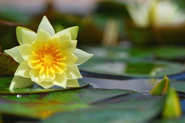 Thai lotus Flower Nature Beauty In Nature Plant Lotus Blossom Lotus Flower Water Lotus Thai