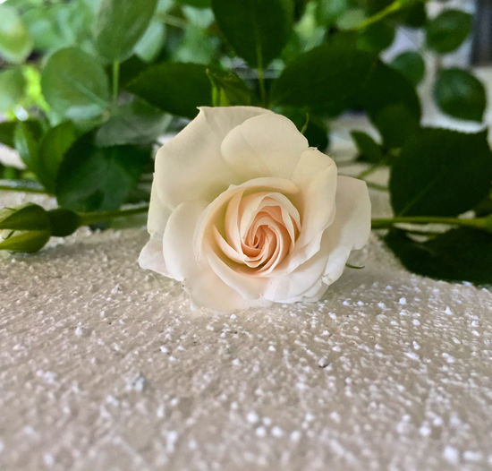 Beauty In Nature Blooming Centered Object Close-up Day Flower Flower Head Fragility Freshness Green And White Green Color Growth High Angle View No People Outdoors Petal Plant Rose - Flower Wedding Photography White Background White Color Background For Quotes Presentation Background