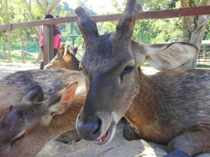 Pst...bro...wanna some weed? :) Deer Deer ♥♥ Deers Deer On High Malaysia Huaweip8 Lite Huaweiphotography Hanging Out Taking Photos Check This Out Hello World Cheese! Relaxing Hi! Enjoying Life