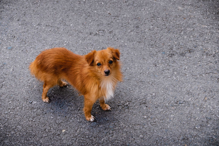 Brown Chihuahua Dog on the Street One Animal Animal Themes Mammal Animal Dog Canine Pets Domestic Domestic Animals Looking At Camera No People Full Length Road Vertebrate City Portrait Standing Day High Angle View Brown